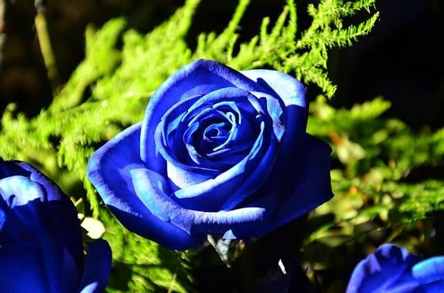 Blue Rose Roses Flowers - Free photo on Pixabay (548492)