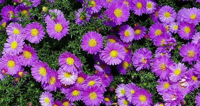Autumn Flowers Mini Asters Small - Free photo on Pixabay (548495)