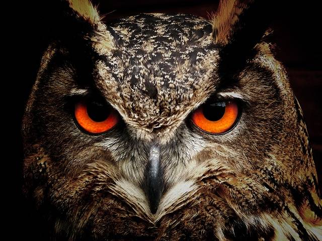Owl Bird Eyes Eagle - Free photo on Pixabay (552847)