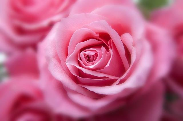 Roses Pink Flora - Free photo on Pixabay (554337)