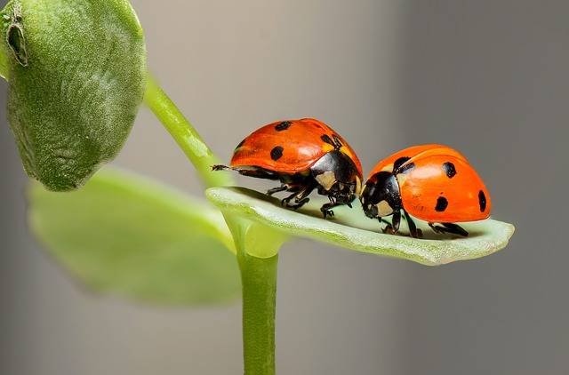 Ladybugs Ladybirds Bugs - Free photo on Pixabay (554342)