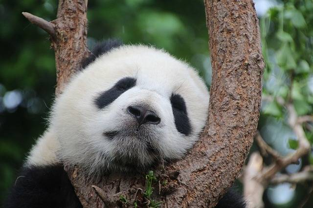 Panda Bear Sleep - Free photo on Pixabay (554346)