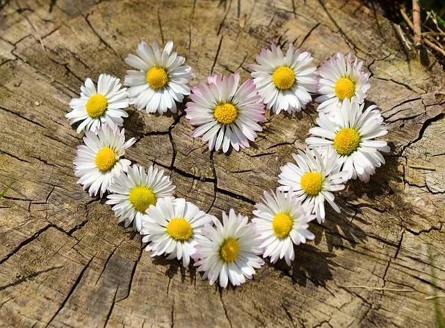 Daisy Heart Flowers Flower - Free photo on Pixabay (554674)