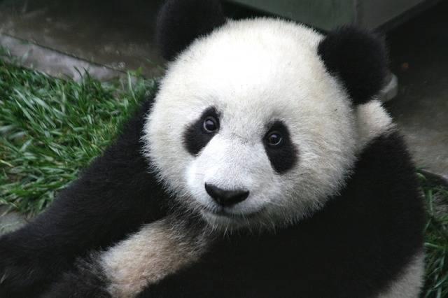 Panda Cub Wildlife - Free photo on Pixabay (559655)