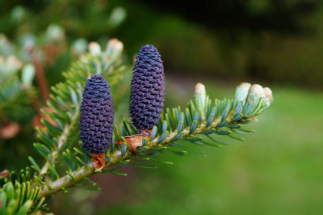 Fir Tree Tannenzweig Pine Cones - Free photo on Pixabay (560970)