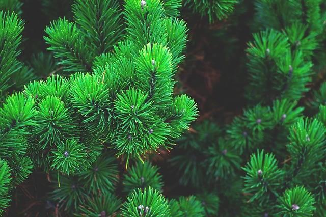 Pine Plant Tree - Free photo on Pixabay (562372)