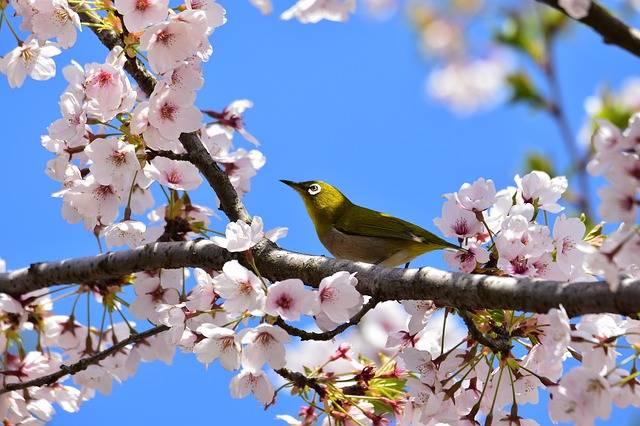 Animal Plant Flowers Cherry - Free photo on Pixabay (564513)