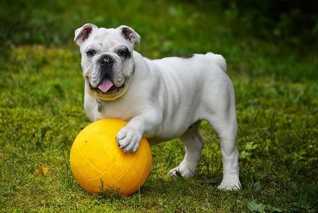 English Bulldog Dog - Free photo on Pixabay (568800)