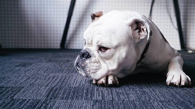 Dog Animal Bulldog - Free photo on Pixabay (568828)