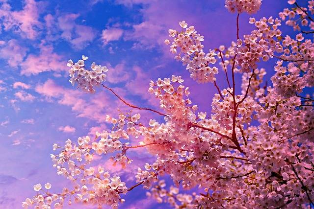 Cherry Blossom Flower Tree Spring - Free photo on Pixabay (570662)