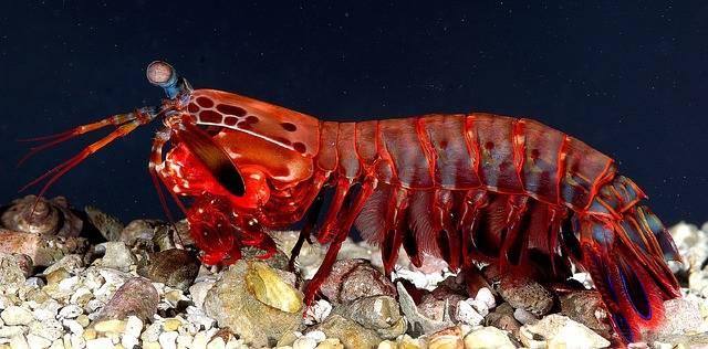 Mantis Shrimp Female Crustacean - Free photo on Pixabay (573003)