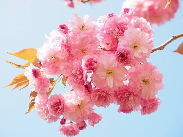 Cherry Blossom Japanese - Free photo on Pixabay (575083)