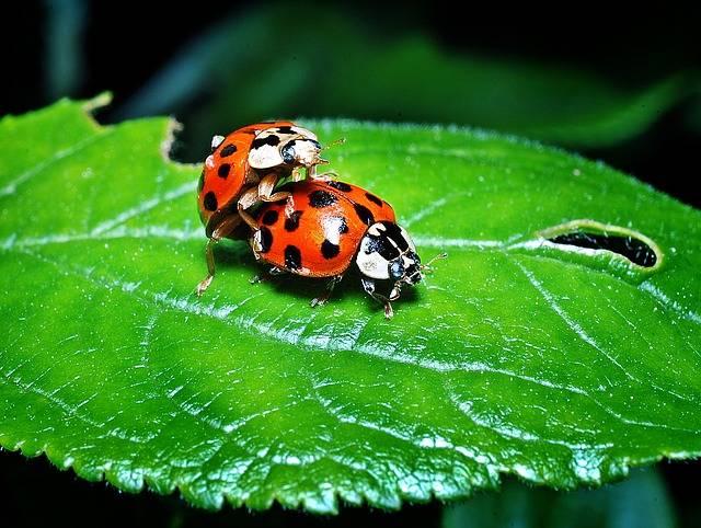 Ladybugs Multiplication Leaf - Free photo on Pixabay (575927)