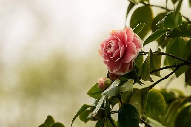 Camellia Flower Nature - Free photo on Pixabay (579163)