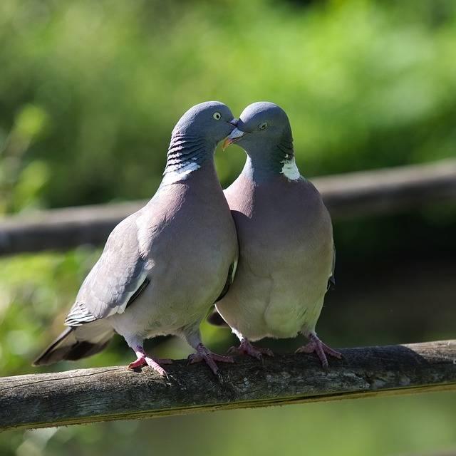 Pigeon Love Kiss - Free photo on Pixabay (579627)