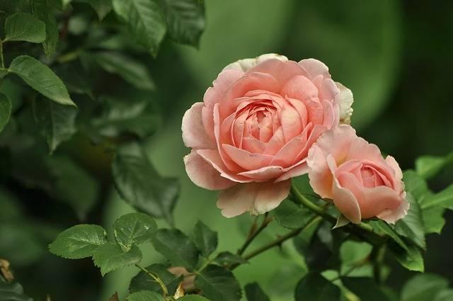 Flowers Rose Pink - Free photo on Pixabay (579649)