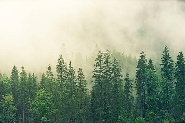 Fog Coniferous Forest Spruce - Free photo on Pixabay (581173)