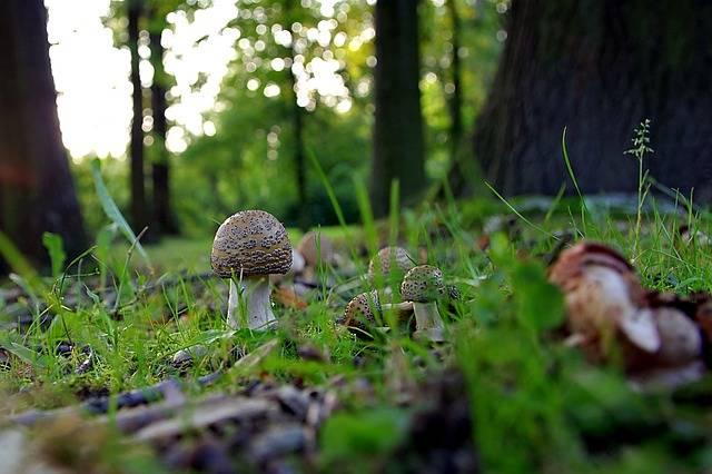 Mushrooms Forest Amanita - Free photo on Pixabay (582606)