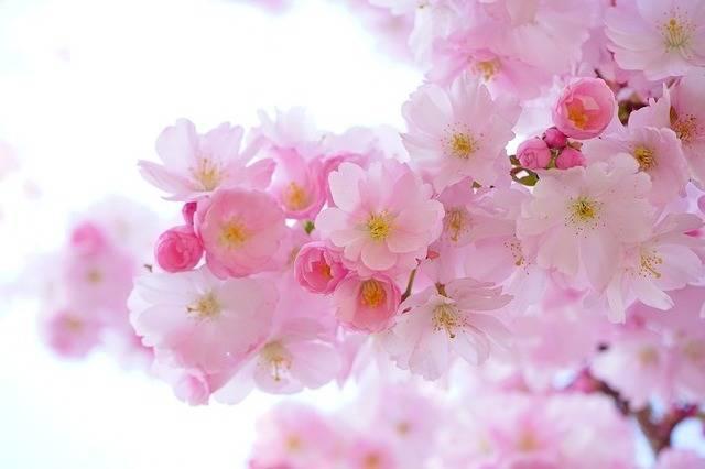 Japanese Cherry Trees Flowers - Free photo on Pixabay (583665)