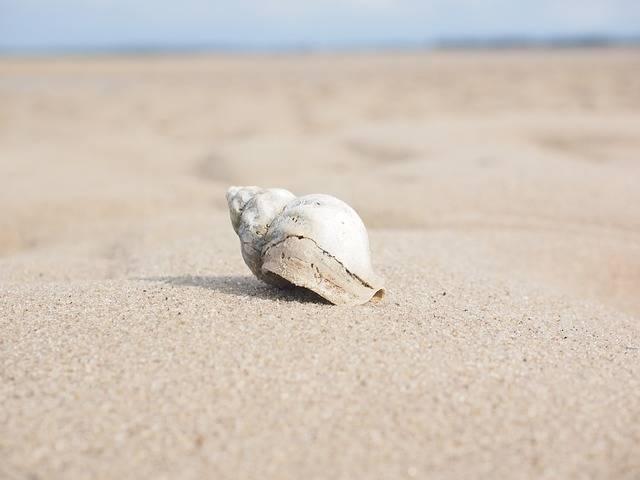 Whelk Snail Animal Buccinum - Free photo on Pixabay (585231)