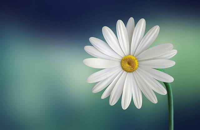 Marguerite Daisy Flower - Free photo on Pixabay (586230)