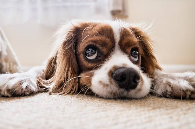 Dog Sad Waiting - Free photo on Pixabay (589373)