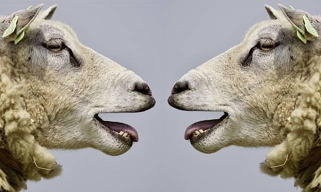 Sheep Bleat Communication - Free photo on Pixabay (592283)