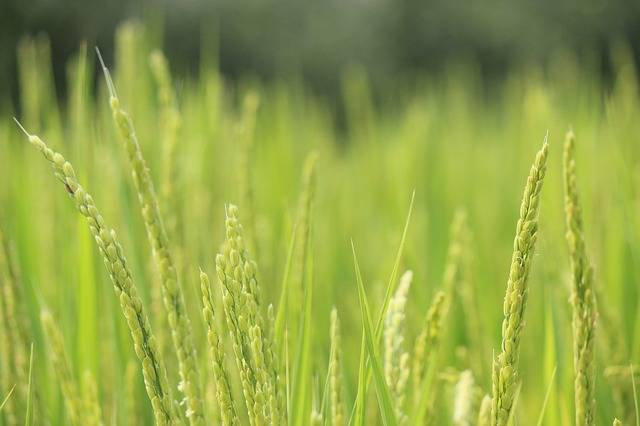 Rice Ear Of Green - Free photo on Pixabay (593082)