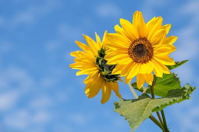 Sunflower Flower Summer - Free photo on Pixabay (597714)