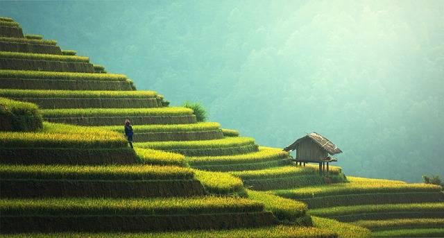 Agriculture Rice Plantation - Free photo on Pixabay (597748)