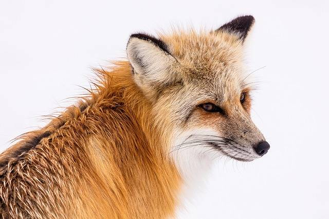 Red Fox Wildlife Portrait - Free photo on Pixabay (598893)