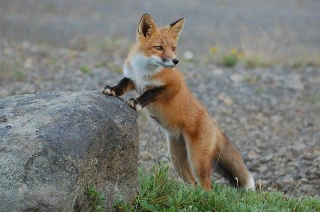 Fox Wildlife Nature - Free photo on Pixabay (598903)