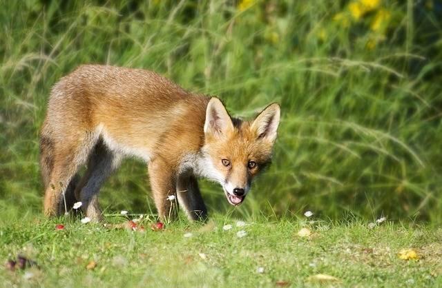 Fox Wildlife Animal - Free photo on Pixabay (598909)