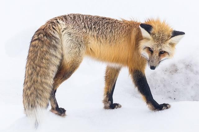 Red Fox Wildlife Snow - Free photo on Pixabay (598926)