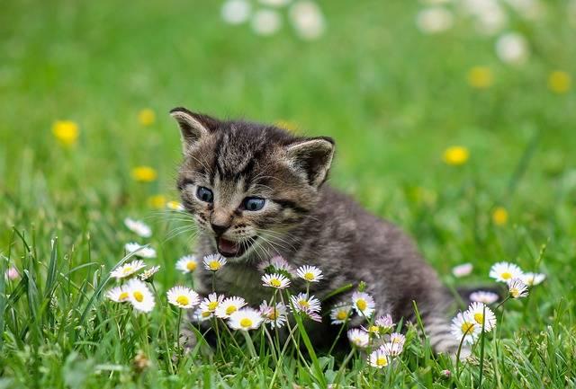 Kitty Cat Kitten Domestic - Free photo on Pixabay (600416)