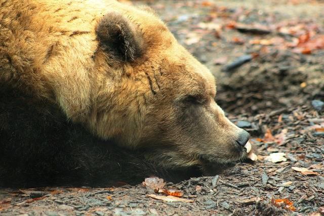 Brown Bear Portrait Zoo - Free photo on Pixabay (600712)