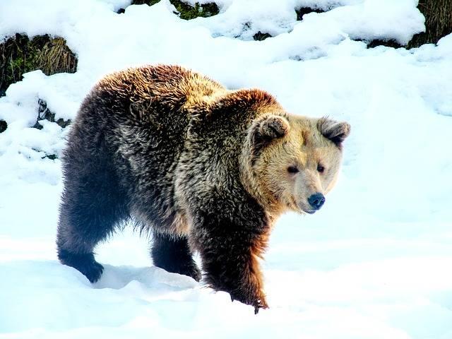 Bear Snow Brown - Free photo on Pixabay (602930)