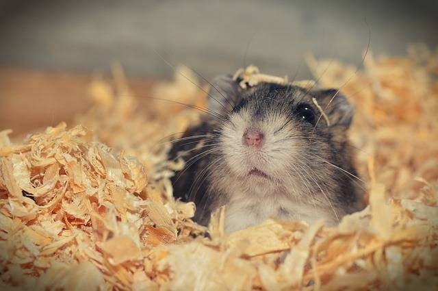 Hamster Animal Rodent - Free photo on Pixabay (612655)
