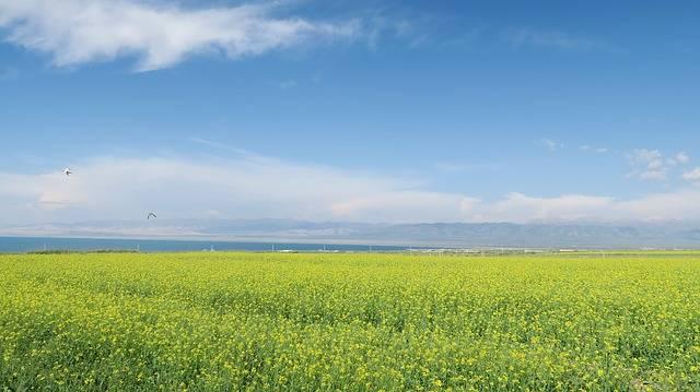 Qinghai Lake Rape - Free photo on Pixabay (613555)