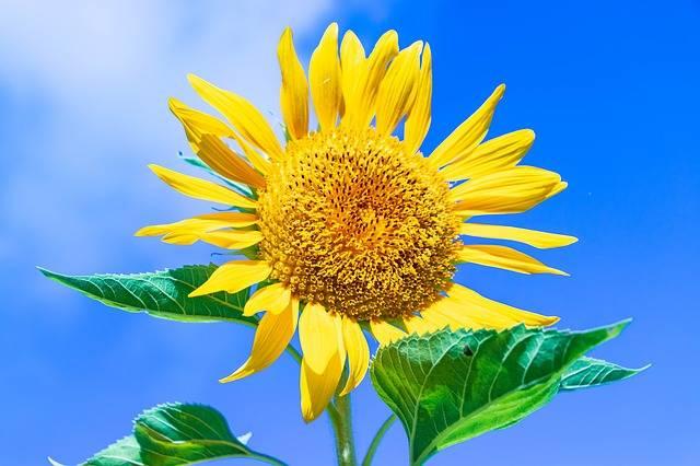 Ishigaki Okinawa Sunflower - Free photo on Pixabay (613998)