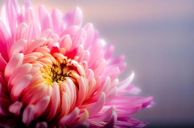 Chrysanthemum Blossom Flower - Free photo on Pixabay (617185)