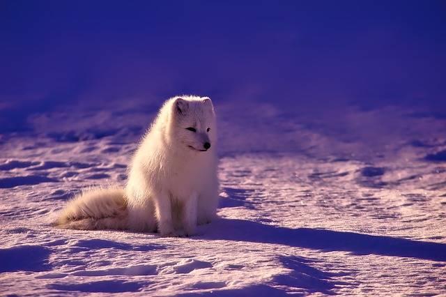 Norway Fox Arctic - Free photo on Pixabay (623818)