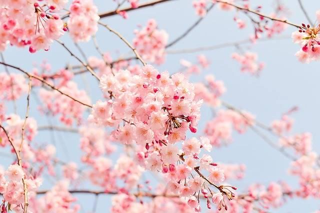 Cherry Tree Flowering - Free photo on Pixabay (637921)