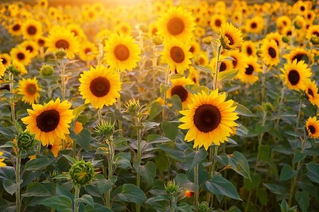 Sunflower Field Flowers - Free photo on Pixabay (637940)