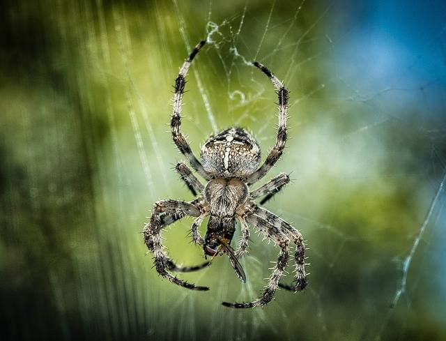 Spider Araneus Insect - Free photo on Pixabay (647589)