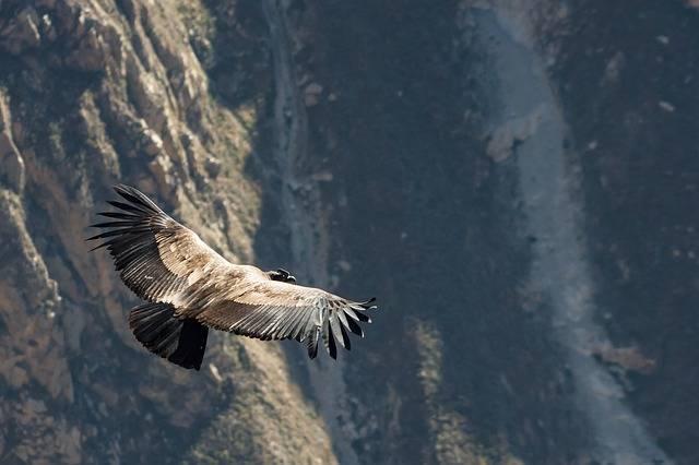 Condor Peru Andean - Free photo on Pixabay (649789)