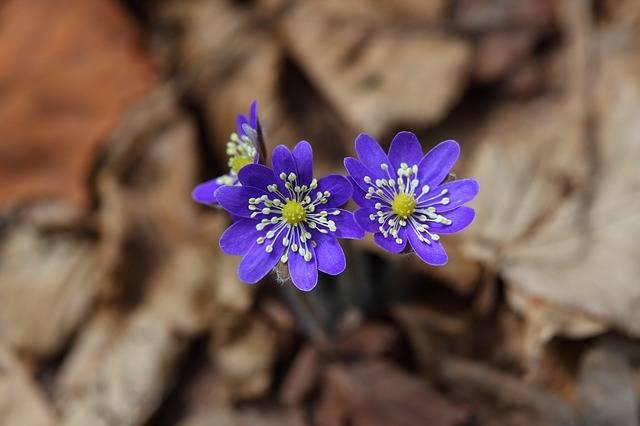Liverwort Wildflower Flowers - Free photo on Pixabay (650078)