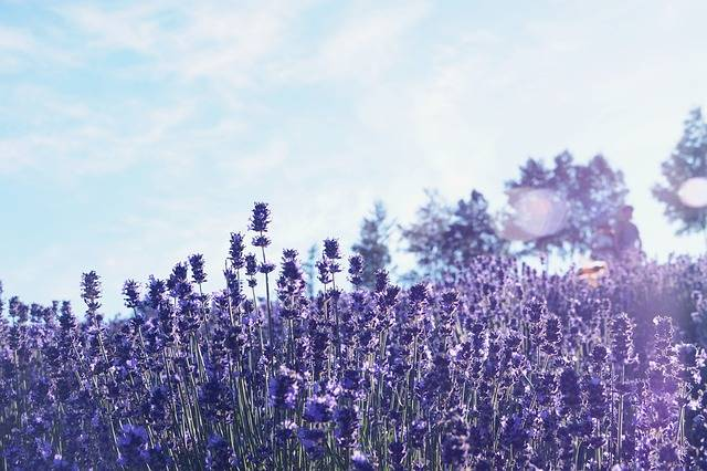 Hokkaido Furano Lavender - Free photo on Pixabay (655051)