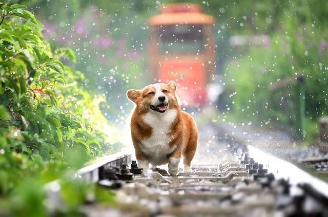 Pets Dog Corgi - Free photo on Pixabay (655114)