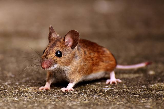Wood Mouse Nager Cute - Free photo on Pixabay (655120)